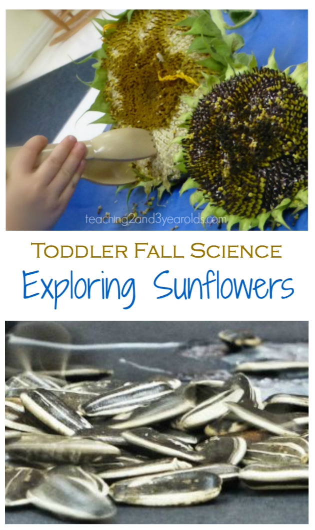 Toddler Science with Sunflowers long