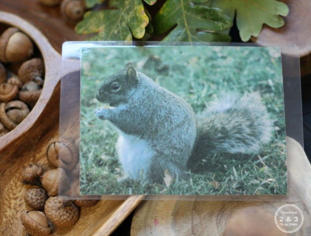 Fall Science for Preschool with Squirrels and Acorns