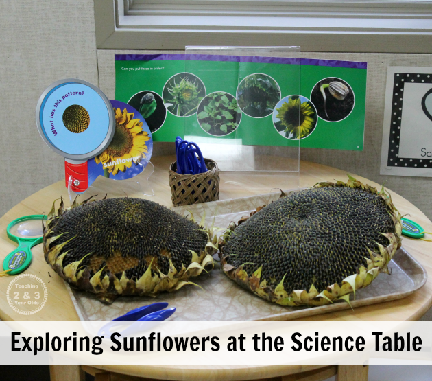 Preschool Science Ideas for Fall - 5 ideas for your fall science table - Teaching 2 and 3 Year Olds